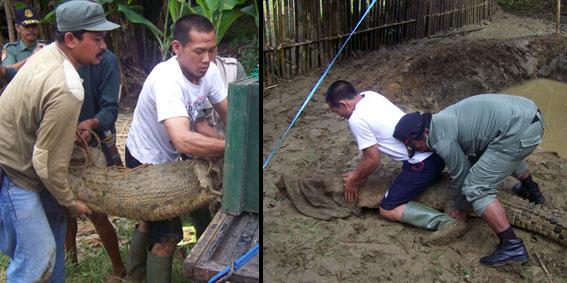 Rescuing crocodile