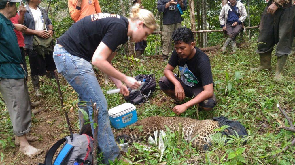 Willemijn-Eggen-Wanicare-Cikananga-rescue-leopard