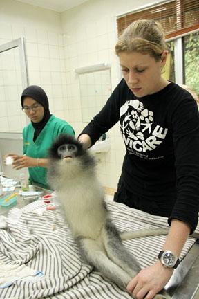 Willemijn Eggen (Wanicare foundation) memberikan perawatan intensif pada Surili