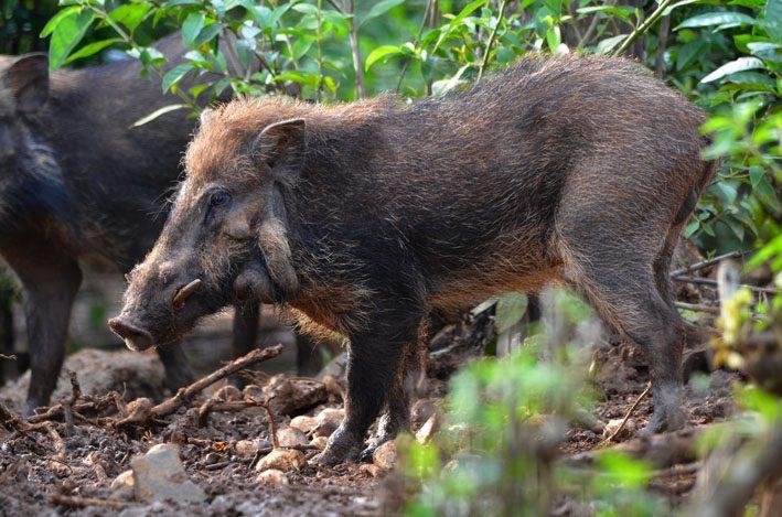 Adult dominant male of Javan Warty Pig (Sus verrucosus), CCBC, © Florian Richter