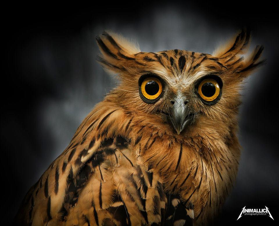 Bulu, the Buffy Fish Owl