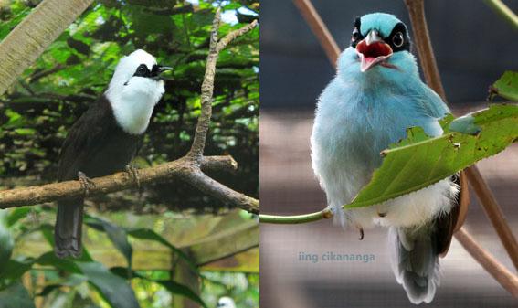 On the left: Sumatran laughingthrushes (Garrulax bicolor) and right side: Javan green magpie (Cissa thalassina thalassina)