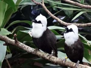 A pair of Sumatran Laughing Thrushes (Garrulax bicolor)
