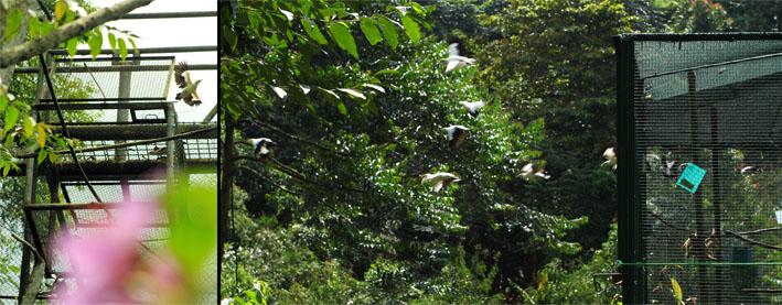 The relesed Black winged starling (Sturnus melanopterus) in Cikananga (left side) and in Pongkor (right side)