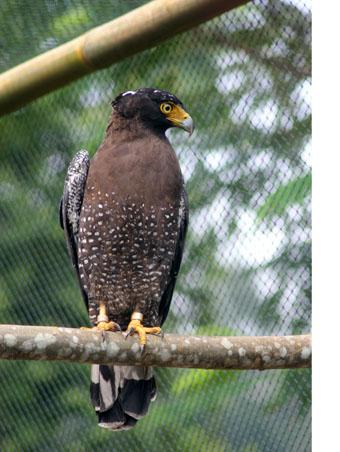 Hoki, the Crested Serpent-eagle