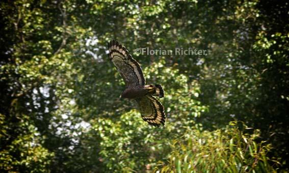 Hoki flying free (photo by Florian Richter)