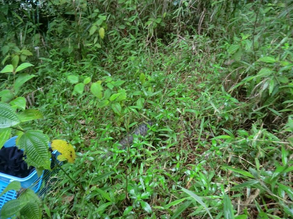 Releasing the pangolin to the wild in Cikananga habitat