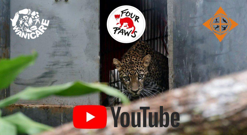 Javan Leopard savethejavanleopard wanicare cikananga YT