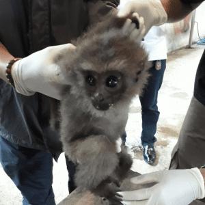 Gibbon Hylobatidae Cikananga Wanicare Rescue Indonesia I