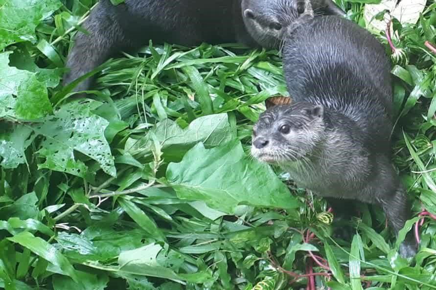 Wanicare Cikananga otter rehabilitation